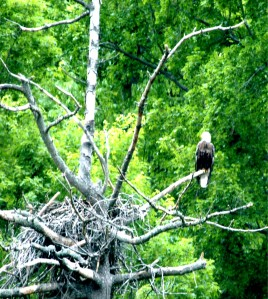 Old eagles' nest near Raystown Dam, Huntingdon, PA by Vickie Smith
