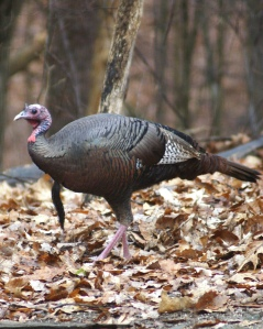 Wild turkey near Hesston, PA (Photo by Vickie Smith)
